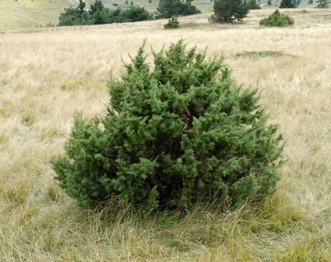 Genévrier commun, Juniperus communis Genevr11