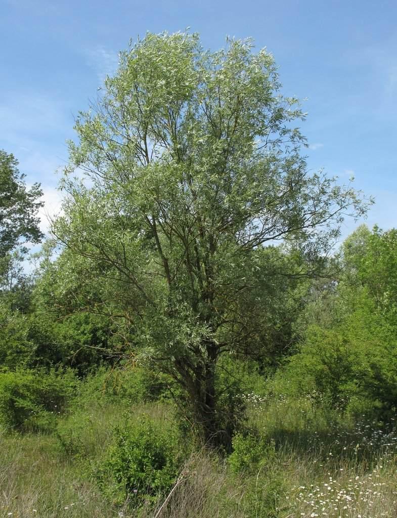 Saule, Salix alba Saule_11