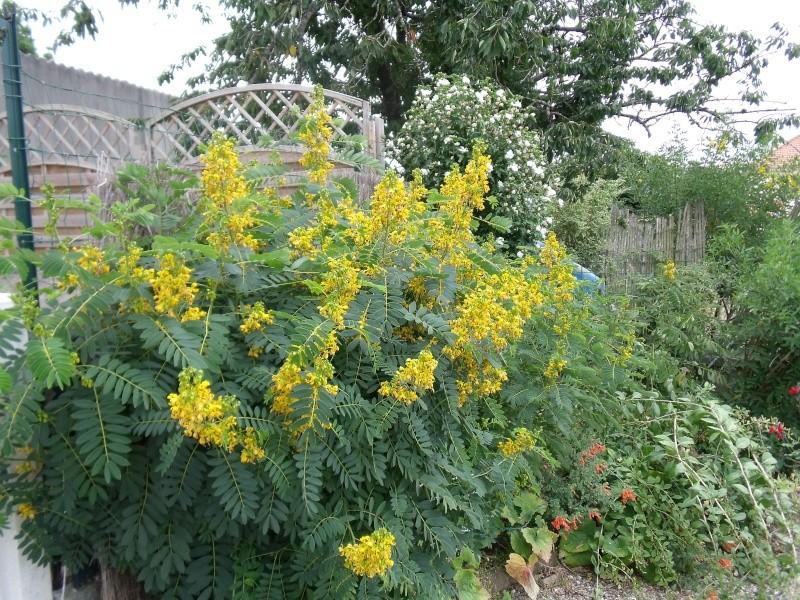 cassia floribunda [conseils de culture] Cassia10