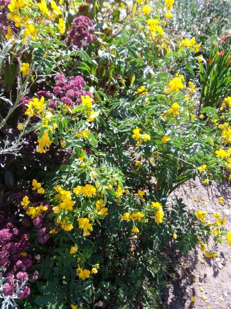 cassia floribunda [conseils de culture] Cassia11