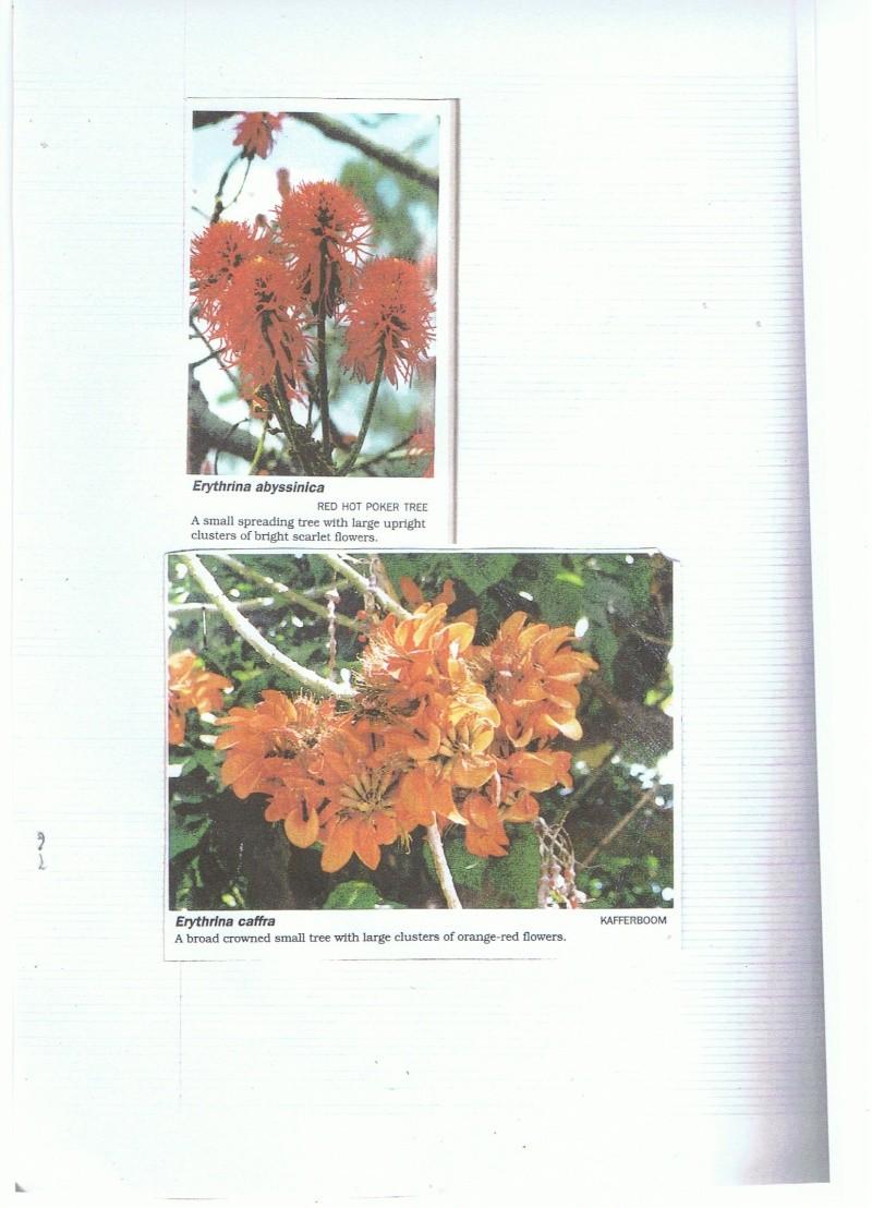 Identification d'une plante ougandaise [erythrina ....] Cce29010