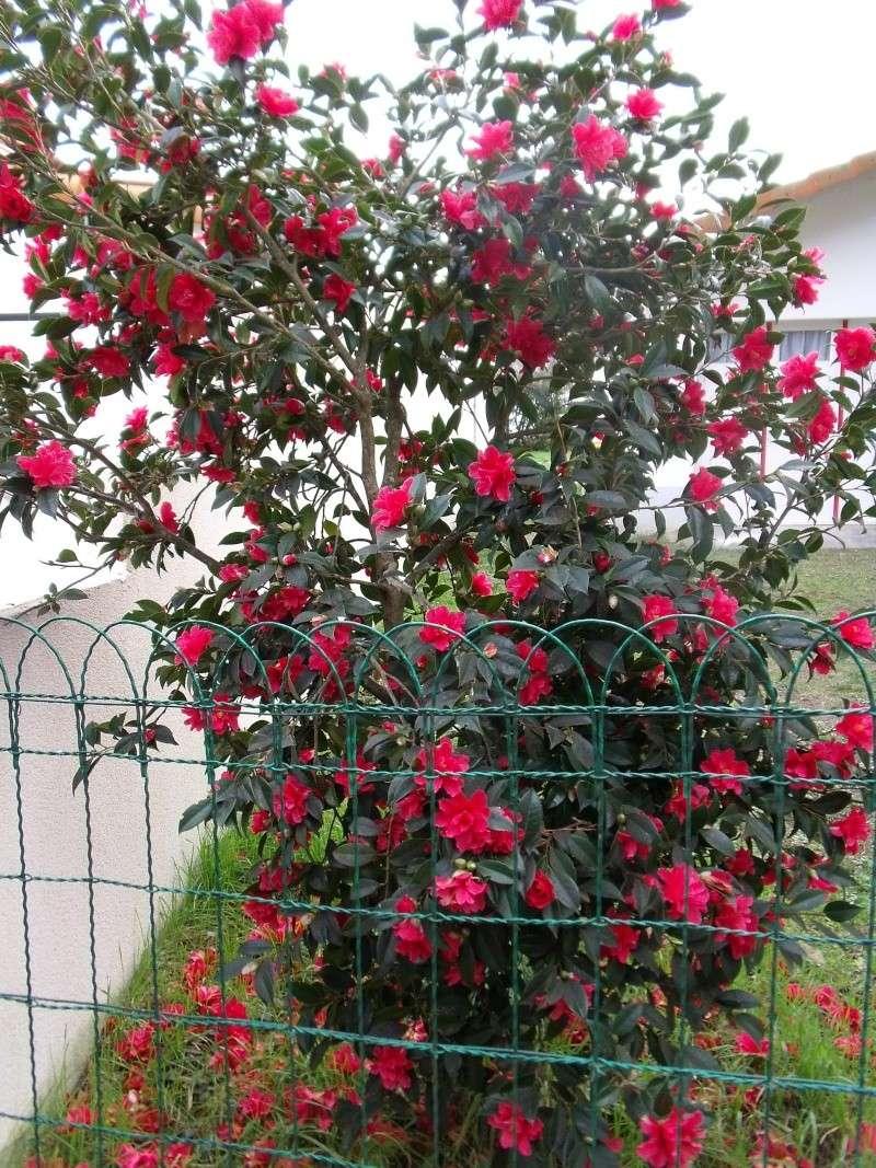 Premières fleurs sur la Cote de Jade Dscf0311