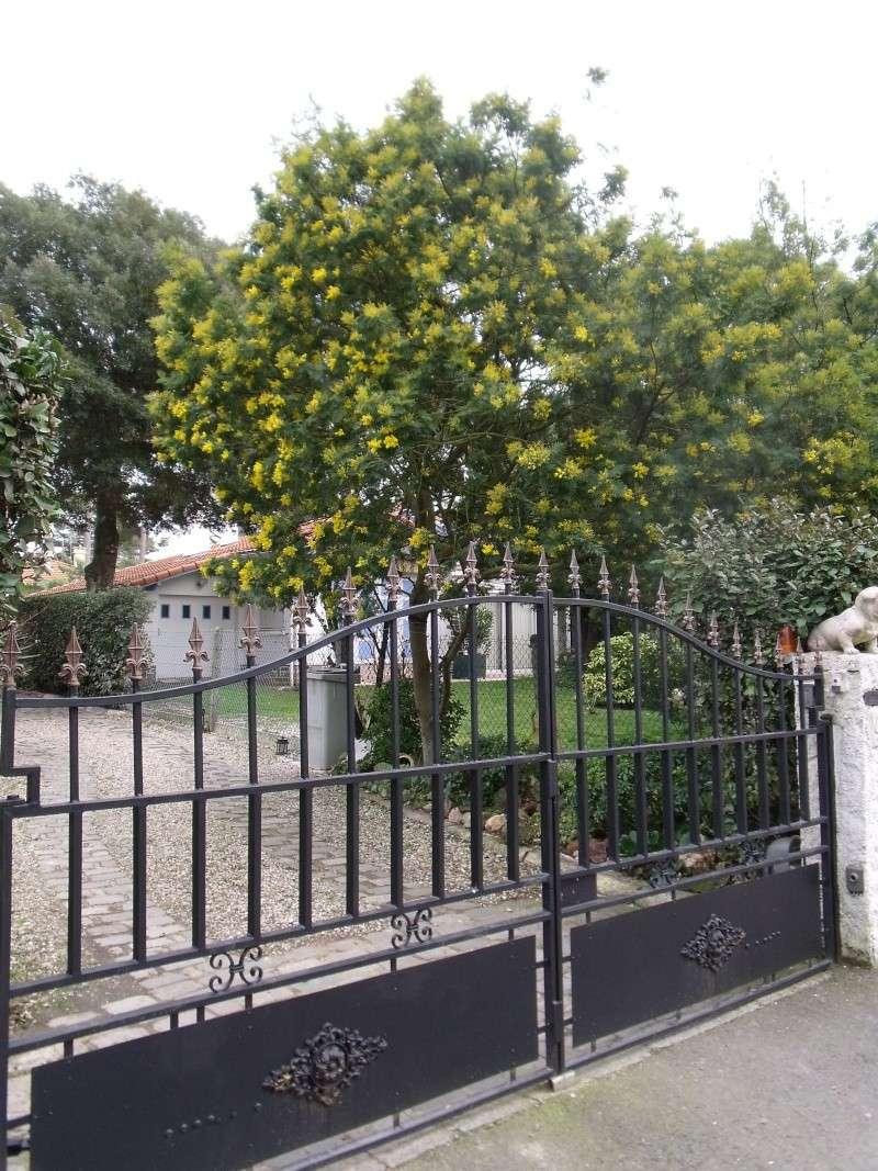 Premières fleurs sur la Cote de Jade Dscf0312