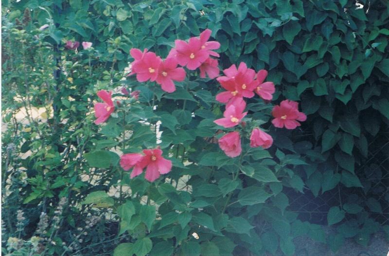 Quel est le nom de cet hibiscus Hibisc10