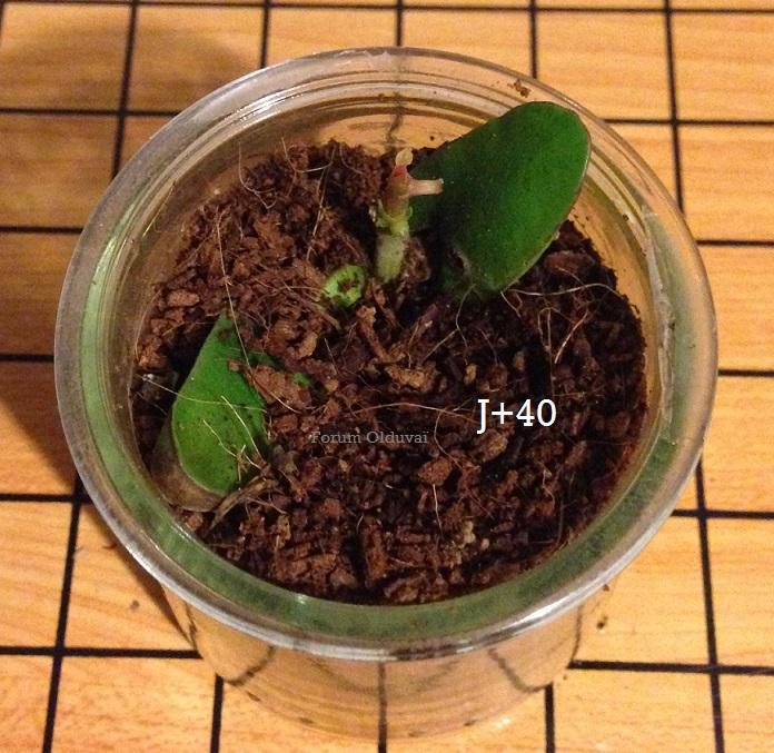 Culture ethnobotanique en France : Kolatier - Noix de Cola nitida, acuminata et gigantea. 3charl10
