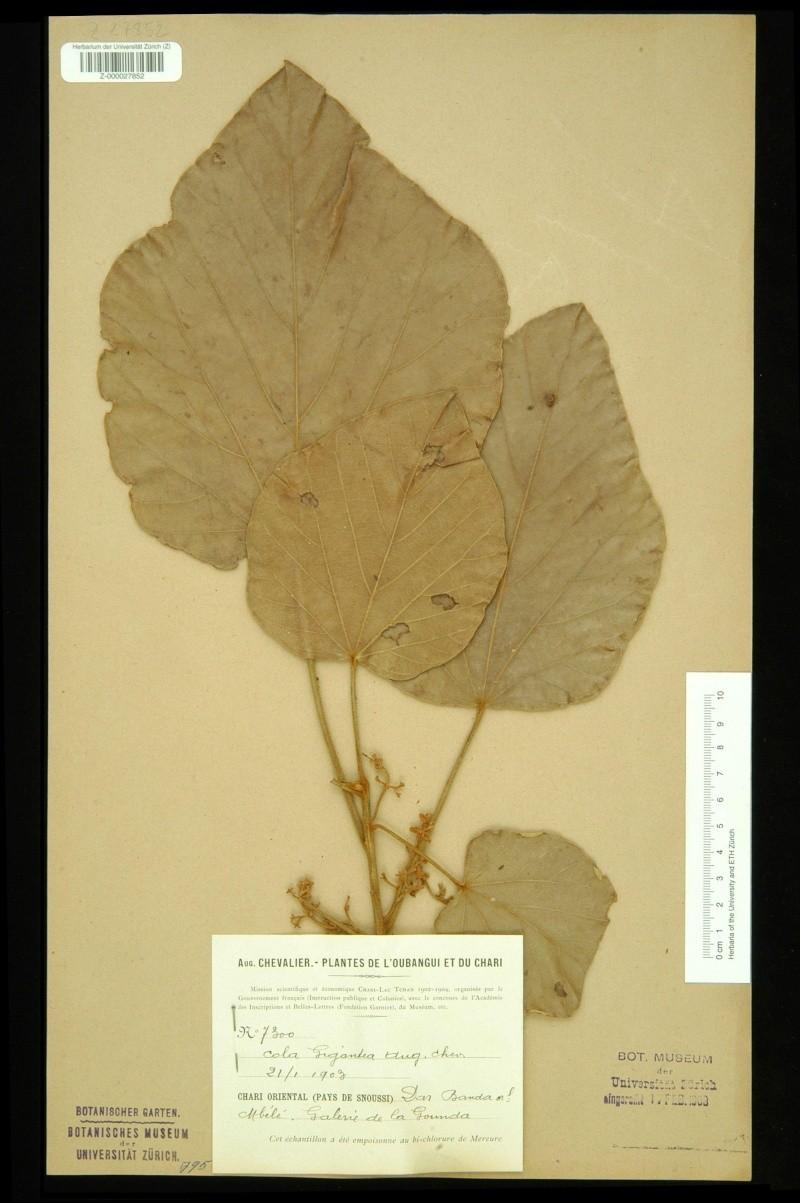Culture ethnobotanique en France : Kolatier - Noix de Cola nitida, acuminata et gigantea. Colazu11