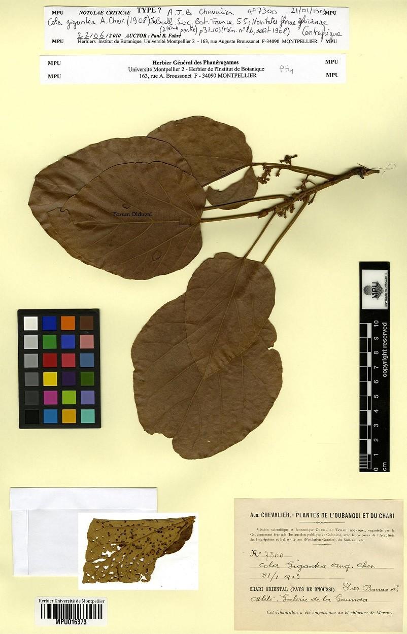 Culture ethnobotanique en France : Kolatier - Noix de Cola nitida, acuminata et gigantea. Thumbc10