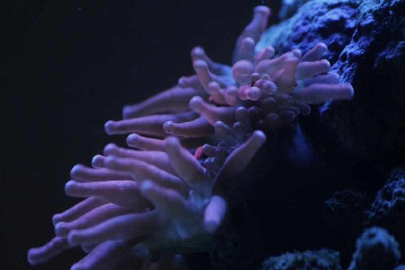 Mon paradis (bac hippocampes) et mon coin de récif _mg_8810