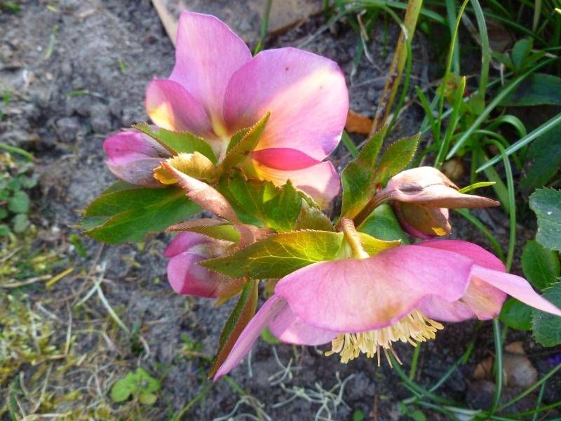 Schwertliliengewächse: Iris, Tigrida, Ixia, Sparaxis, Crocus, Freesia, Montbretie u.v.m. - Seite 5 P1040813