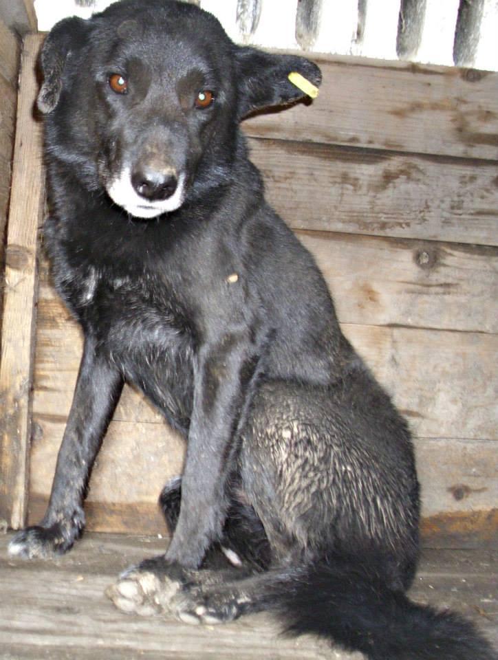 GOTHIC, mâle croisé, taille moyenne, sociable (Pascani) -EN FOURRIERE 0bb610