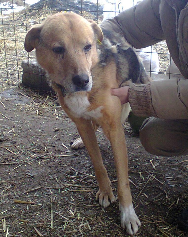 SIMBA, mâle âgé croisé berger taille moyenne né env 2005 (PASCANI)-En fourrière 10422410