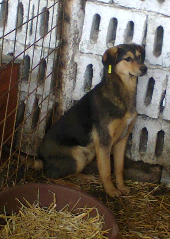 PAAZ, chiot mâle, croisé, taille moyenne (PASCANI)-En fourrière - pris en charge par une autre association 10940611