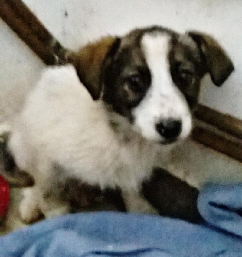 PURPLE, chiot femelle née en novembre 2014, croisée, taille moyenne à l'âge adulte (Pascani)- En pension chez Lucian 10988910