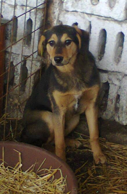 PAAZ, chiot mâle, croisé, taille moyenne (PASCANI)-En fourrière - pris en charge par une autre association 15092410