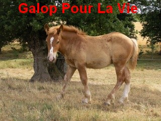 (56) Azur poulain trait breton - placé hors association Azur210