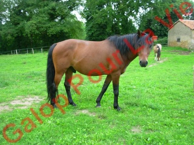Elgringo hongre - gardé par sa propriétaire Elgrin10