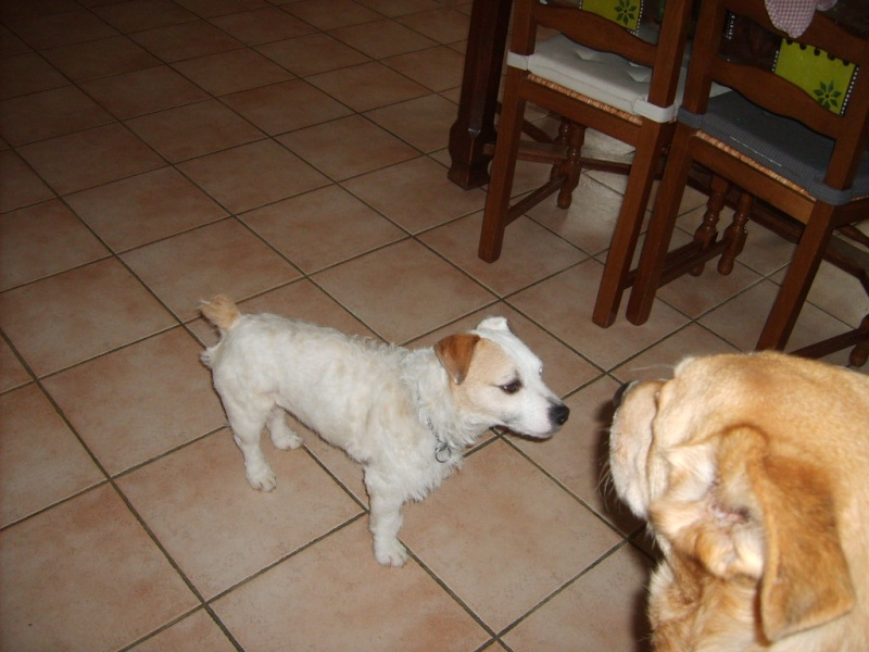 abricot jack russell 5 ans   Abrico10