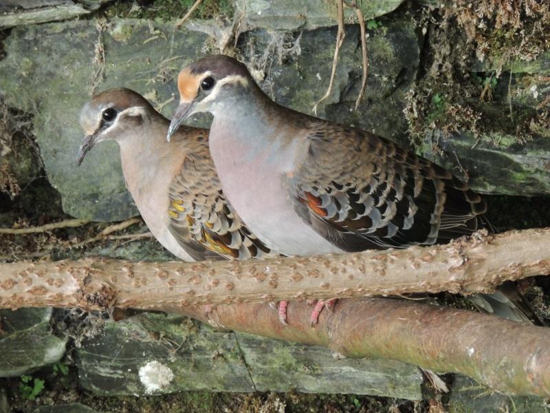 Couple de colombe . Colomb11