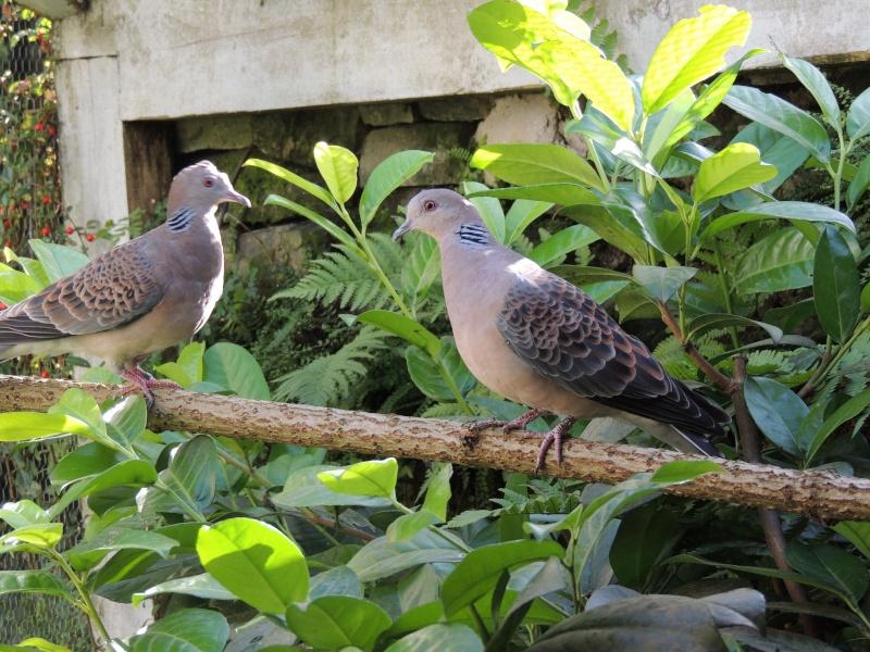 Couple de colombe . Colomb12
