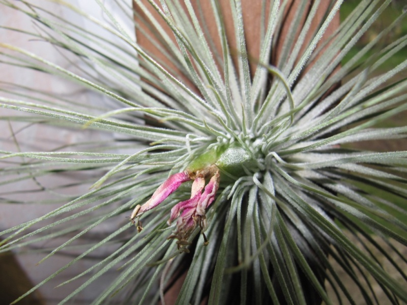 imminente floraison  00313