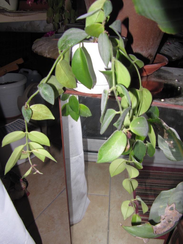 Aeschynanthus perd ses feuille 00514