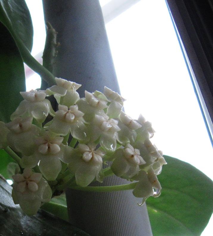 Hoya pachyclada 01211
