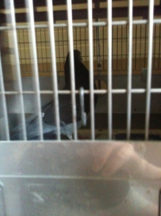 Pigeons in need of foster/adoption in Philadelphia, PA (US) 810