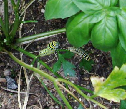 Monarch Butterflies Caterp11