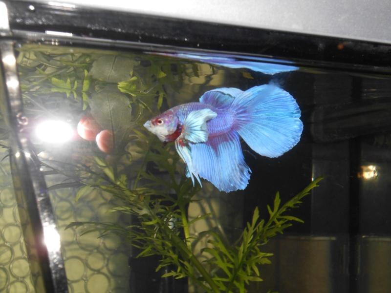 Rimski (Big ears croisé HM/QDV, BF imparfait; rouge avec irisation bleue, sur base claire Dscn1710