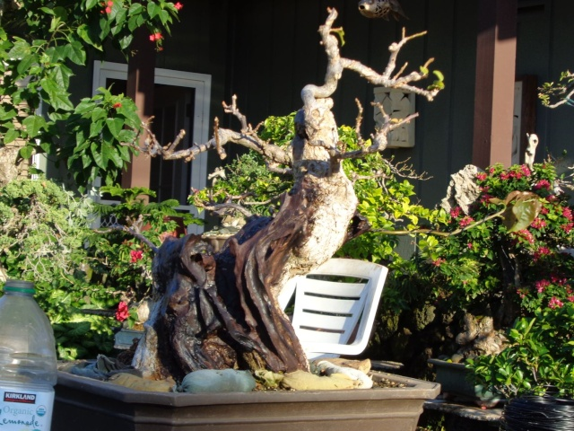 preliminary carving bougainvillea stump Dsc01115