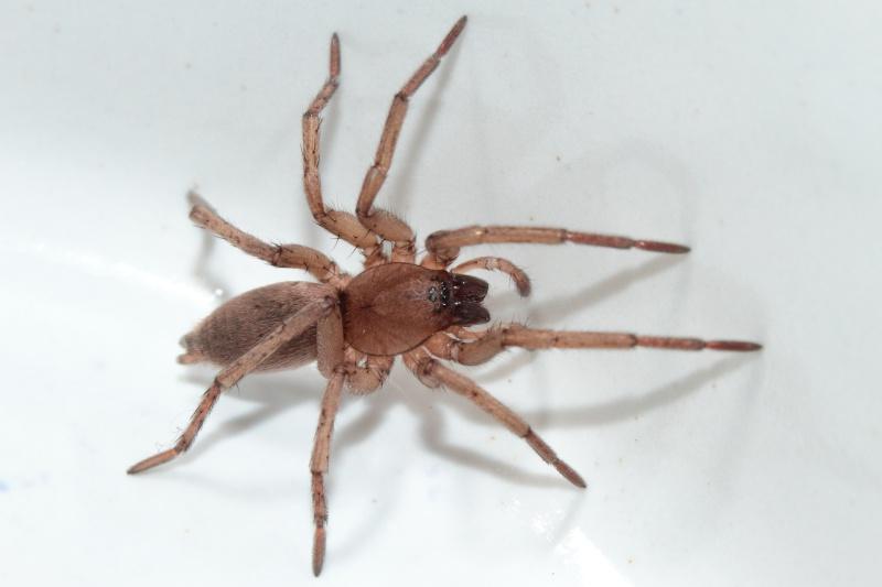 Ma gnagna à moi (Drassodes sp.) Bis_mg54