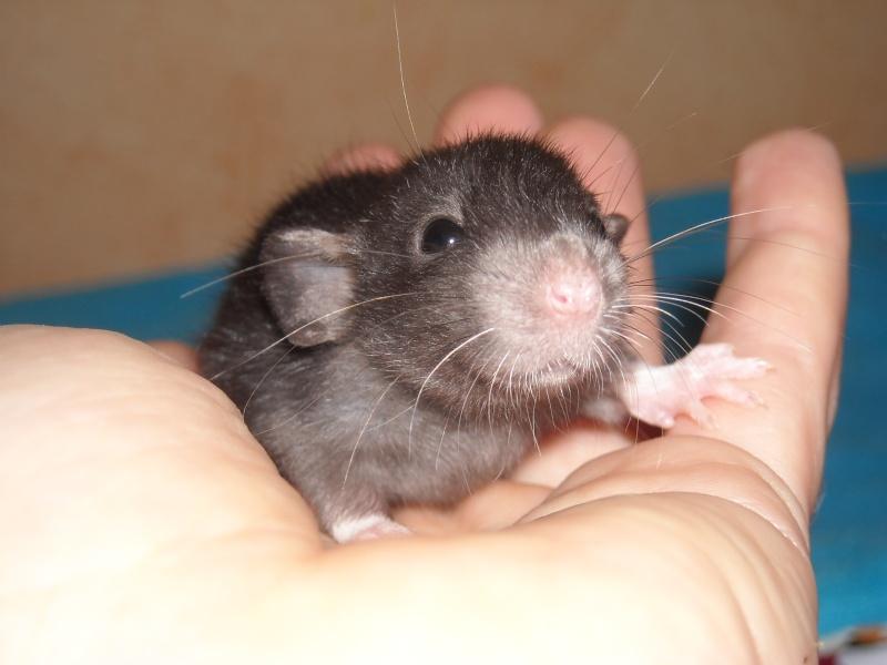 cherche a adopter un ou deux ratous male. Dscn0096