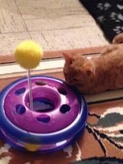 Pim's, petit chaton roux à croquer - réservé Pim_s_12