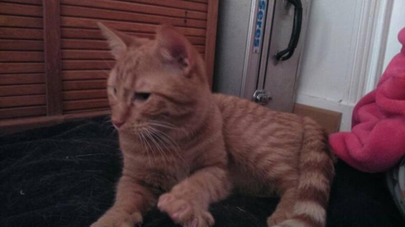 Pim's, petit chaton roux à croquer - réservé Pim_s_13