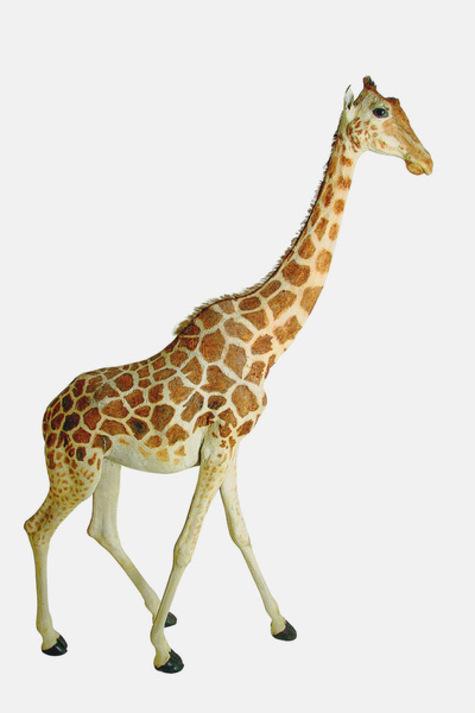 La girafe de Charles X, dite Zarafa Au-mus10