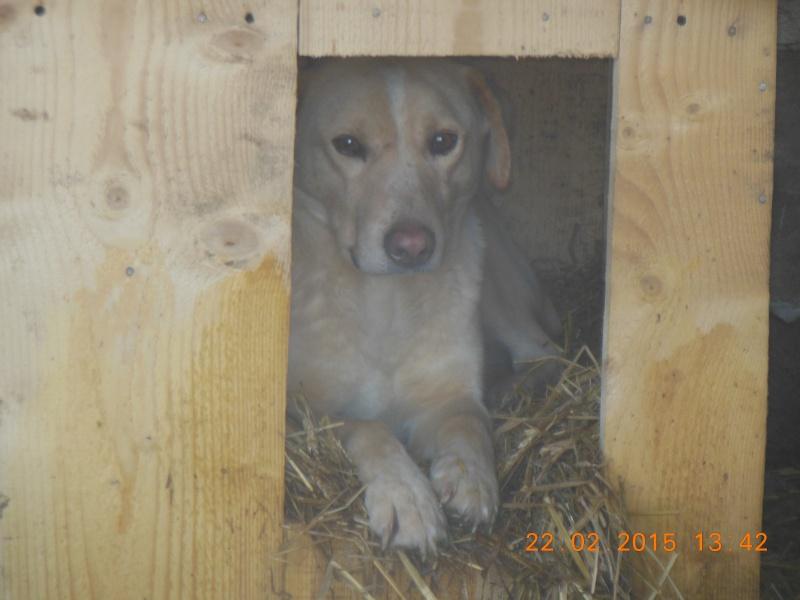 BOX (trois) , croisé labrador, né en 2007 -  Parrainée par Samie -R-F-SOS-SC- - Page 2 Pictu124