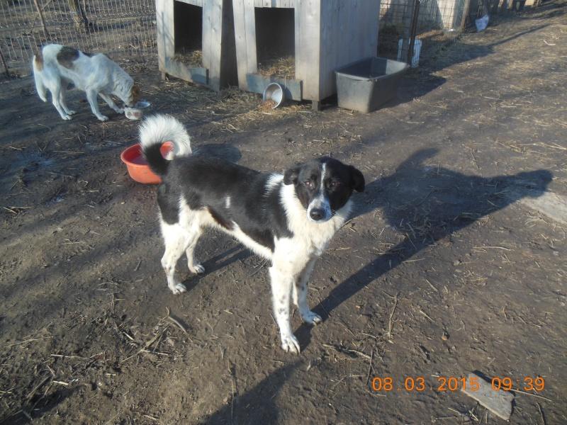 GAYA- femelle noire et blanche née en 2013- parrainée par Skara - SC-SOS-R- - Page 2 Pictu339