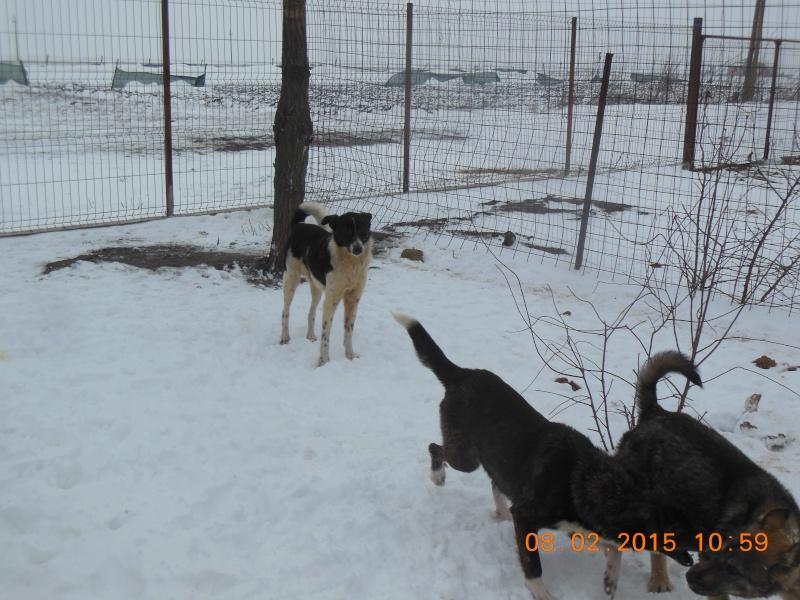 GAYA- femelle noire et blanche née en 2013- parrainée par Skara - SC-SOS-R- - Page 2 Pictur55