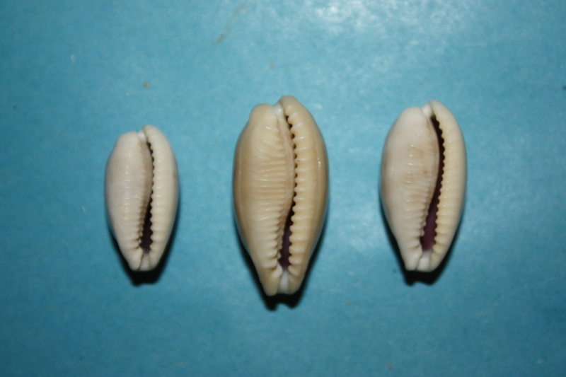Eclogavena quadrimaculata - (J.E. Gray, 1824) 16-ecl10