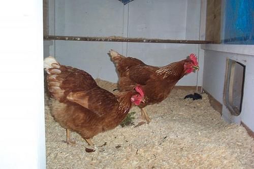 New chicks Hens_i10