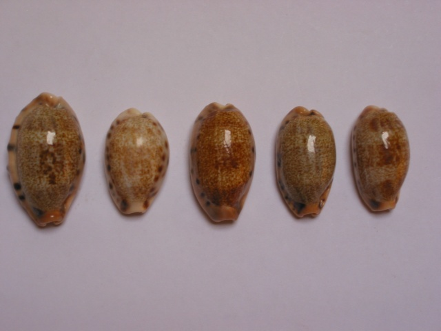 Erronea caurica - (Linnaeus, 1758) Img_7611