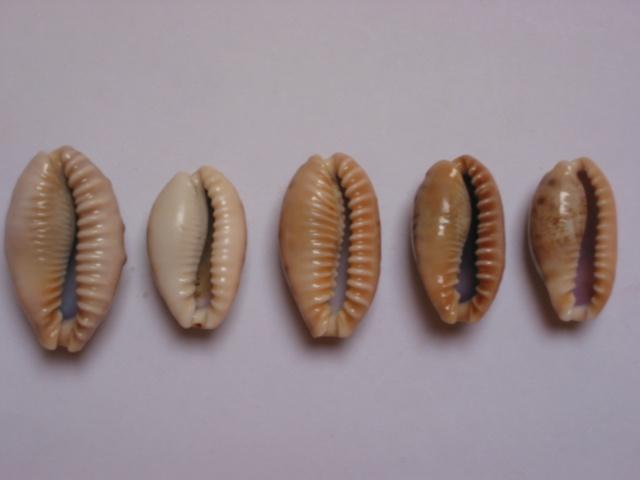 Erronea caurica - (Linnaeus, 1758) Img_7613