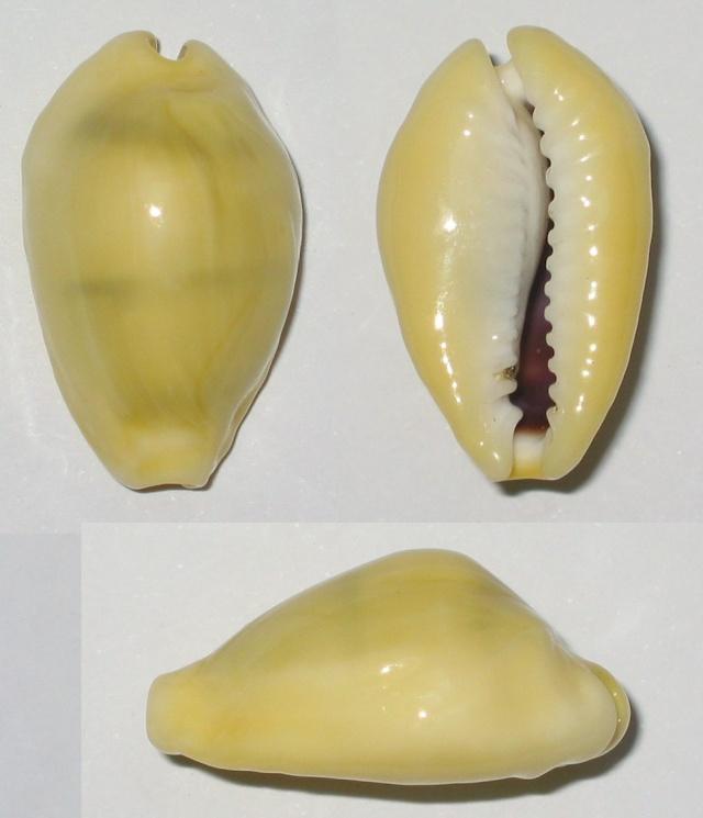 Monetaria icterina - Lamarck, 1810 voir Monetaria moneta - (Linnaeus, 1758) Moneta10