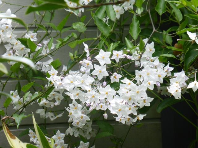 Solanum jasminoides - faux-jasmin 27-08-10