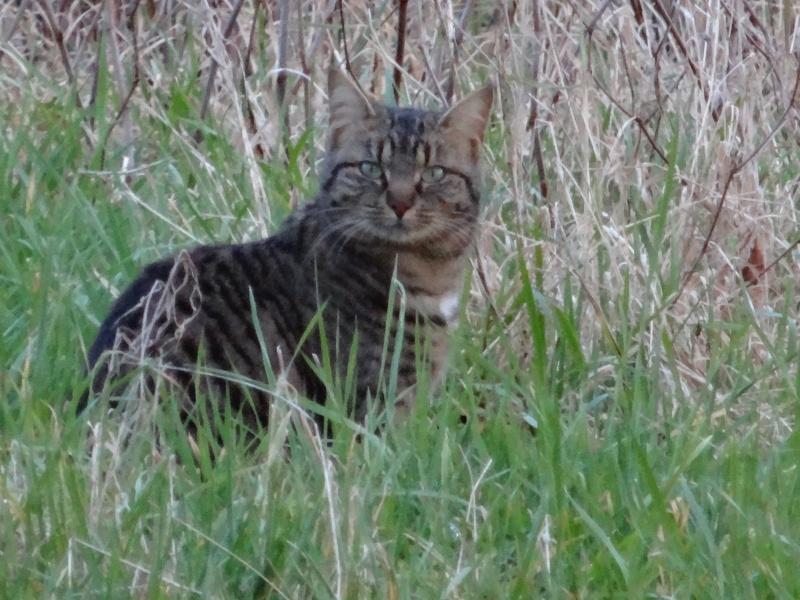 IRMA chaton femelle 10/06/2013 adoptée par jennifer  ( 85 ) Dsc01412