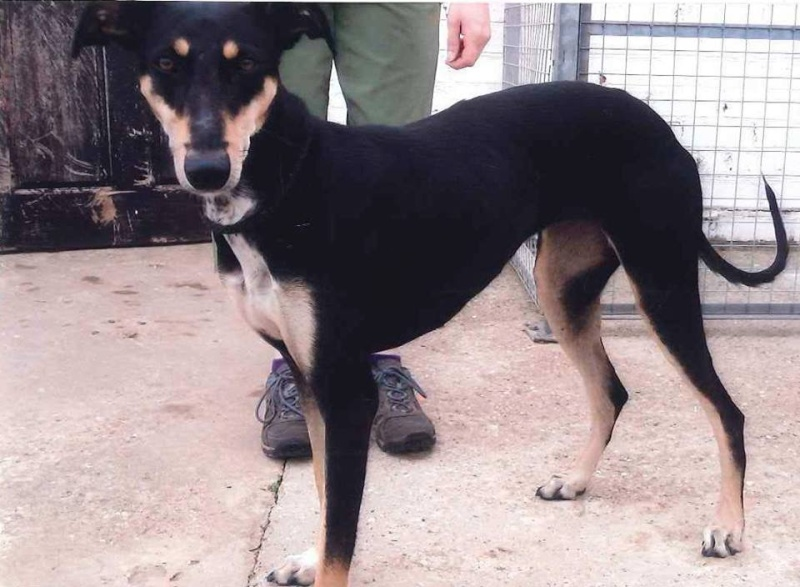 Annie lurcher girl needs rescue by 27th July or will be pts by council  SAFE Annie10