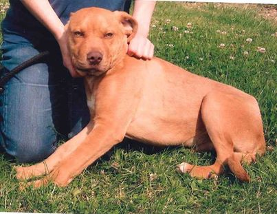 Meet Bruno lab x needs rescue only a pup pts date 30 July  SAFE Bruno_10