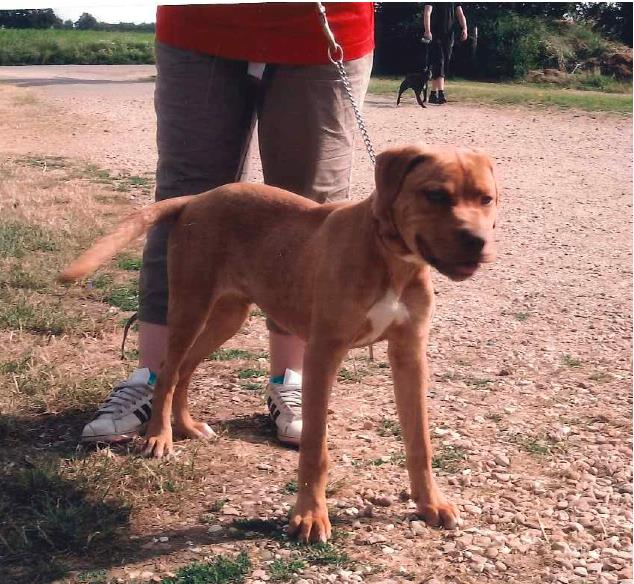 Meet Bruno lab x needs rescue only a pup pts date 30 July  SAFE Bruno_11