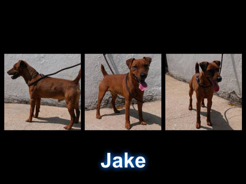 Jake Terrier X needs a rescue space SAFE Jake_s10