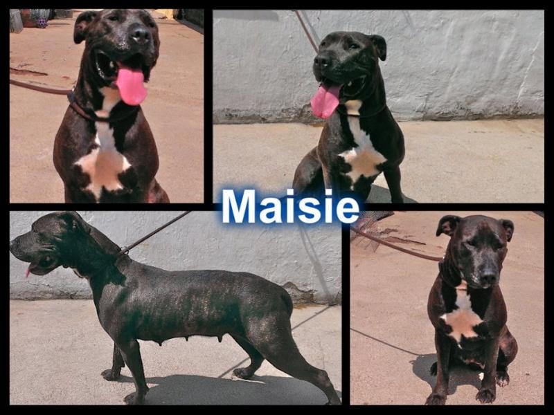 Meet Maisey Mastiff who needs a rescue space SAFE Maisie10